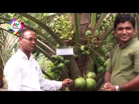 মাটি ও মানুষ | ভিয়েত নামের খাটো জাতের হাইব্রিড নারিকেল চাষ | Khato Jater Narikel Chara, Savar