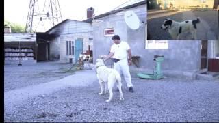 Блок пост для собаки или замена прогулочного дворика для среднеазиатской овчарки