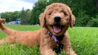 Bringing New Goldendoodle Puppy Home!