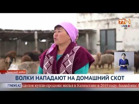 , title : 'ВОЛКИ НАПАДАЮТ НА ДОМАШНИЙ СКОТ