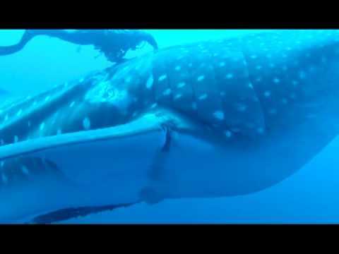 Watch: Whale Shark Rescued by Divers
