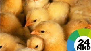 В Грузии из выброшенных на свалку яиц вылупились цыплята - МИР 24