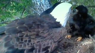 Decorah Eagles Mom Chatting with Her Babies