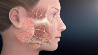 Facial Nerve Anatomy | The Facial Paralysis Institute