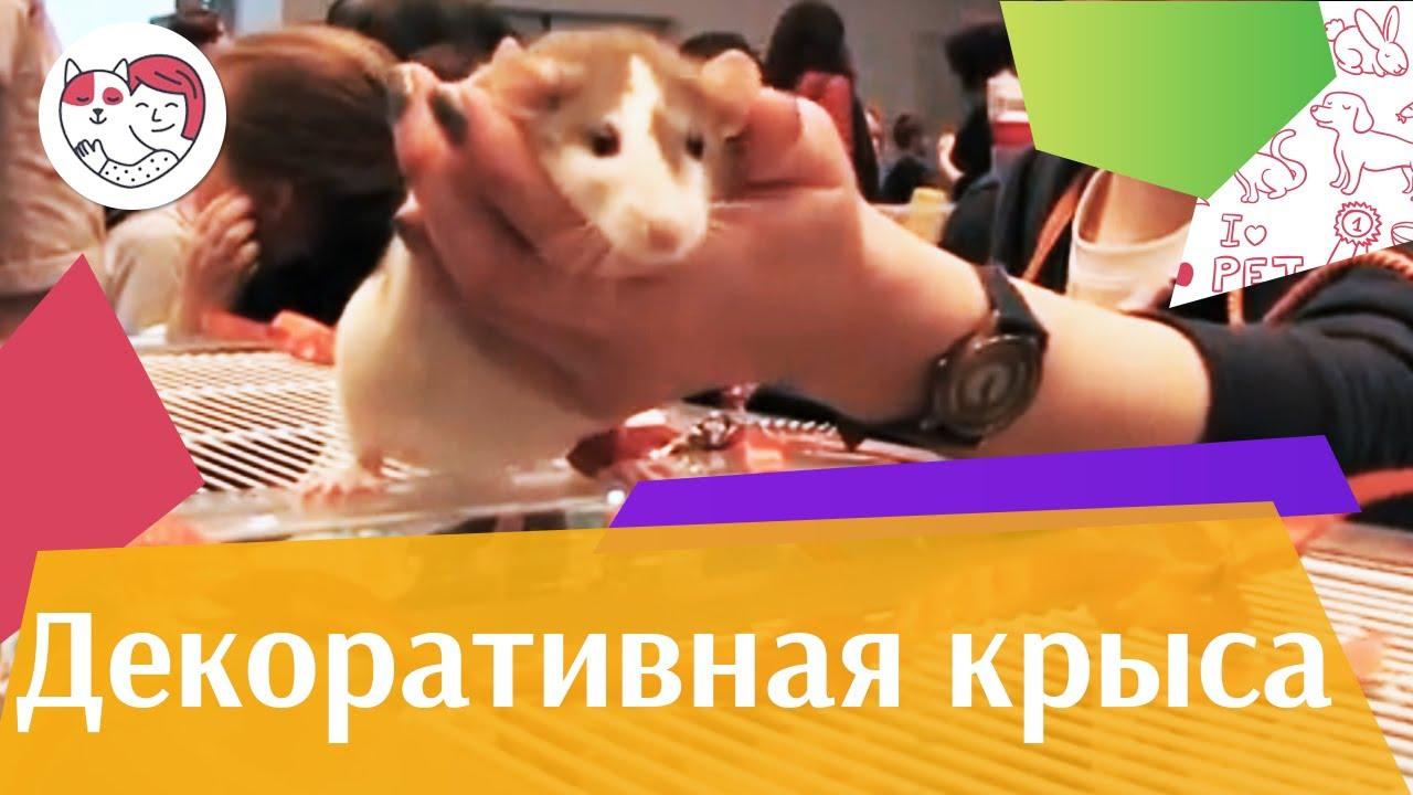 Декоративные крысы Дрессировка на ilikepet