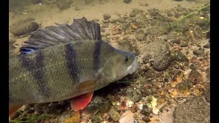 MONSTER Perch Devour Live baits! Under Water