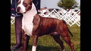 American Staffordshire Terrier (Amstaff) Vs. Staffordshire Bull Terrier (comparación Entre Razas)