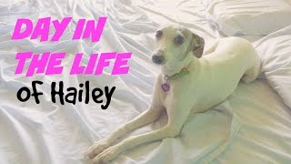 Day In The Life Of My Italian Greyhound!