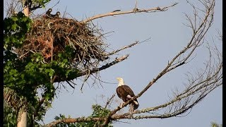 BALD EAGLE STRUGGLES TO GET MASSIVE FISH TO NEST...