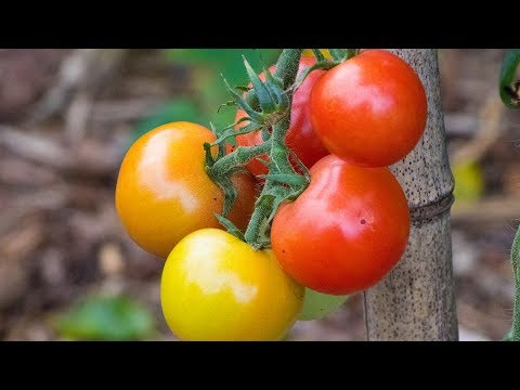 TOMATOES! 🍅 Everything You Need To Know!