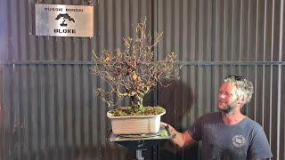 Silver Birch bonsai, Trim and defoliation, Aussie Bonsai Bloke