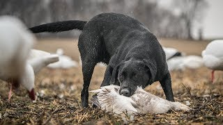 Duck Hunting Dogs: Teamwork - Fowled Reality