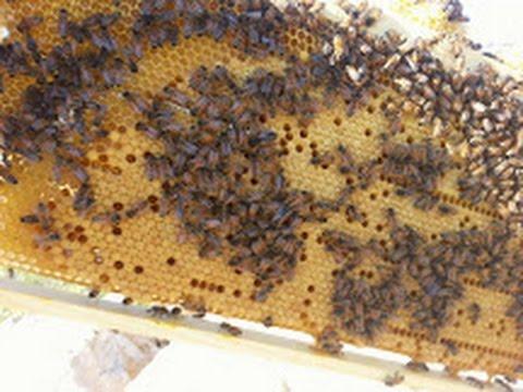 Пчеловодство. Мой первый рой 5 продолжение