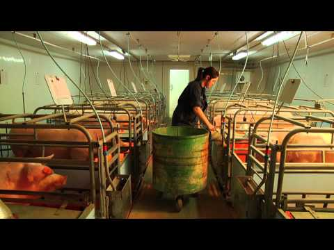 DEP   Production animale (Porcine)