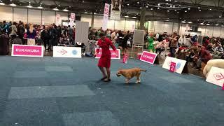 WORLD DOG SHOW 2017 Cadebou Female Open