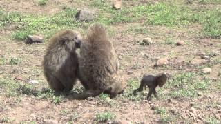 Wildlife Safari In Northern Tanzania -- December 2013