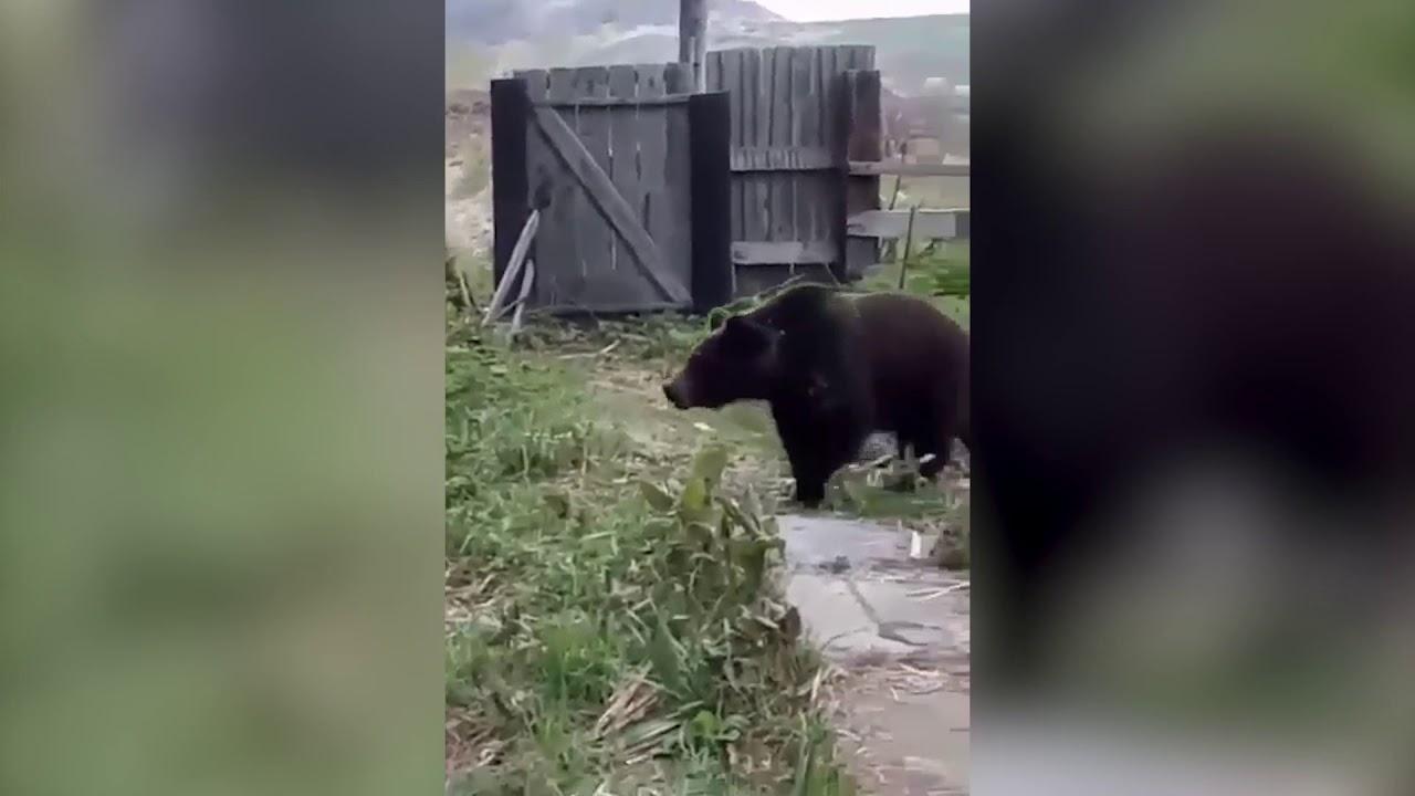 Женщина в Южно-Курильске покормила, а потом прогнала медведя