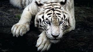 Bílý tygr (příběh)