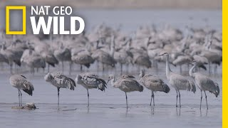 Thousands of Cranes Take Flight in One of Earth's Last Great Migrations | Nat Geo Wild