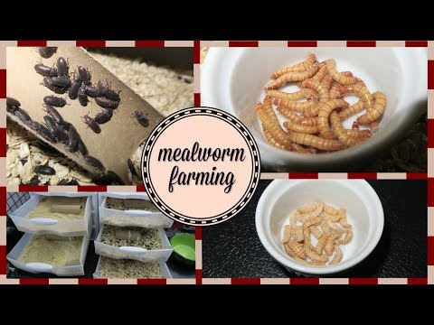, title : 'Mealworm Farming Set-up || How to Breed Mealworms