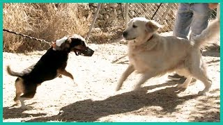 How to Introduce A New Dog To Your Pack   Cesar Millan