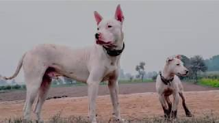 """Tough, rugged, extreme game & guard Pakistani working bull terrier dog """"Gultair""""."""
