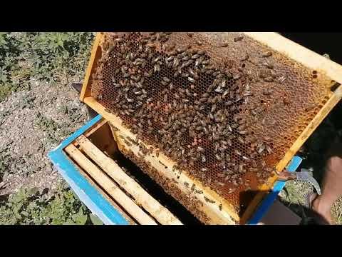 Одна из причин почему пчелы заливают гнездо вовремя ГВ, Как найти матку в улье.