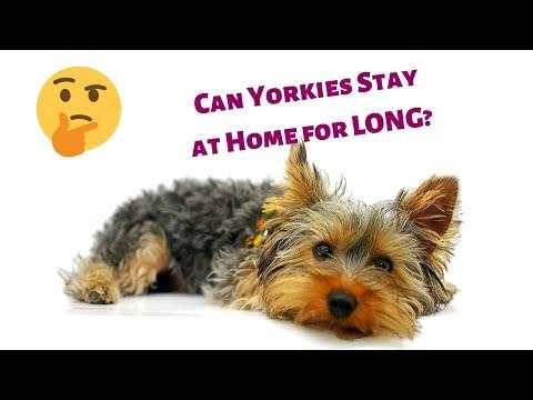 Sănătate și boală yorkshire terrier: listă și descriere
