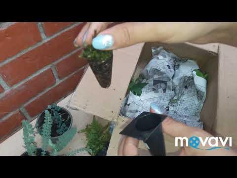Распаковка посылки с садовыми растениями с коллективного заказа