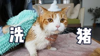 [Cat Live] Zhupi experienced the bath for the first time, but he escaped!