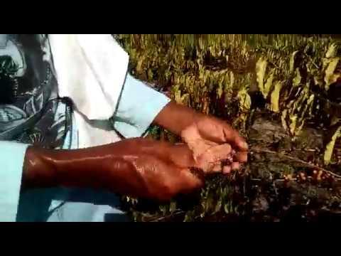 Lavoura familiar com café robusta em Rondônia é castigada pela insolação