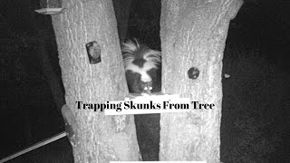 Trapping Skunks In Tree -  Multiple Skunk Trap - Part 1