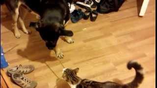 Кот вырос вместе с собакой. Смешно :D