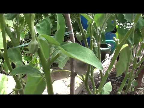 Почему вянут листья у баклажанов  Болезни баклажанов