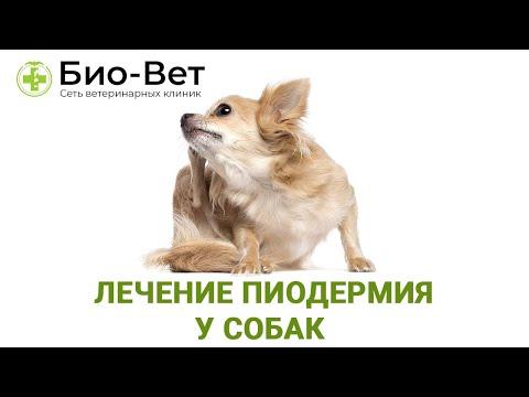 """Пиодермия у Собак: Лечение  и Чем Опасна Пиодермия у Собак / Объясняет ветеринар """"Био Вет"""""""