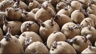 Allotment Diary : Chitting Seed Potatoes : How to pre sprout your spuds before planting