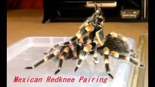 Breeding a pair of Brachypelma Hamorii Mexican Red Knee Tarantula