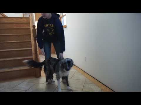 How To Teach Your Dog To Jump Into Your Arms & Do Rebounds!