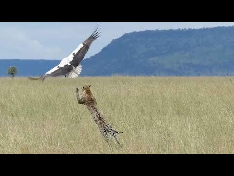 Hungriger Leopard