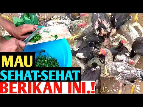 , title : 'Tips Mengolah Daun Pepaya  Makanan Ayam