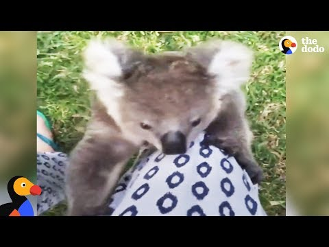 Rescued Baby Koala Bear Climbs Rescuer's Leg | The Dodo