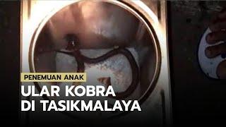 Ular Kobra Kembali Ditemukan di Tasikmalaya