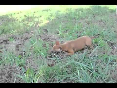 Penny Video Miniature Pinscher shipping included