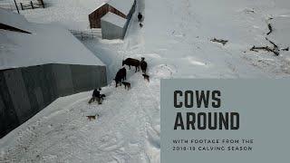 Cows Around thumbnail