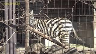 シマウマさん🦓鳴く Zebra crying 【羽村市動物公園】