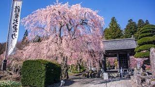 [4KUltraHD]信州桜の穴場光前寺の桜-CherryBlossomsatKozenjitemple-shotonSamsungNX1