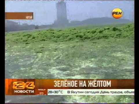 Жёлтое море -- позеленело!