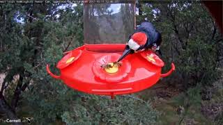 Acorn Woodpecker vs  the Bees on the hummingbird feeder