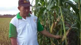 preview picture of video 'Jagung BISI dan NK'