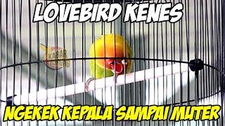 Lovebird Konslet Betina KENES Ngekek Sampai Kepala Muter